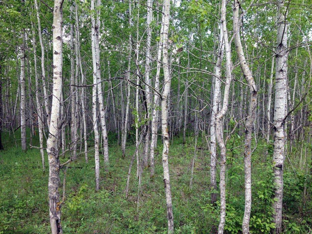 Aspen forest near Vermilion, AB.