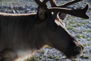Caribou © Diane L. Haughland