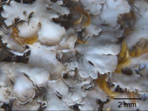 Milky-skinned Centipede Lichen – Heterodermia galactophylla