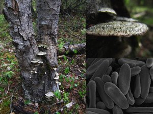 Polypore Pins - Phaeocalicium polyporaeum habitat, close-up of the stalks and a scanning electron microscope image of the spores.