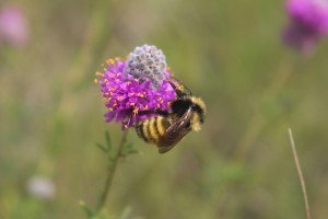 Bombus borealis foraging on a Purple Prairie Clover.