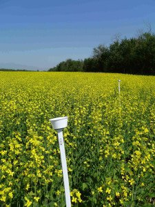 Pan traps set up on stakes in a canola field.