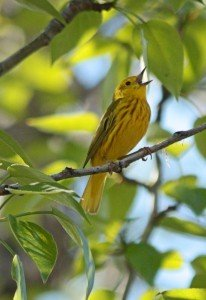 Varina Crisfield_Yellow warbler_Edmonton copy