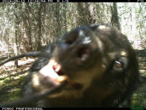 black bear attack camera trap