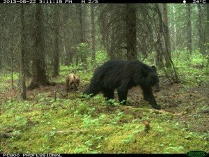 black bear camera trap