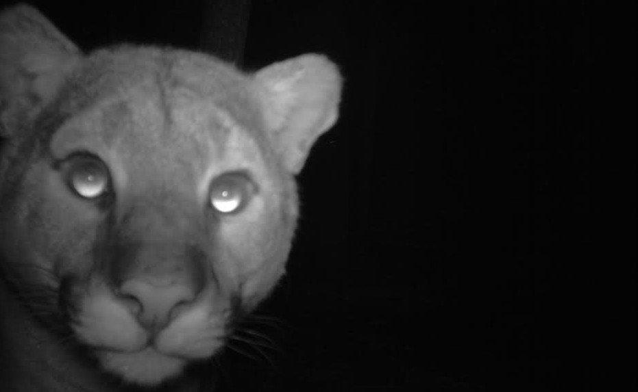 cougar camera trap