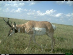 pronghorn camera trap
