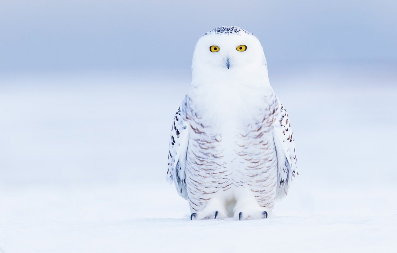 Snowy Owl On Snow by Jon Groves