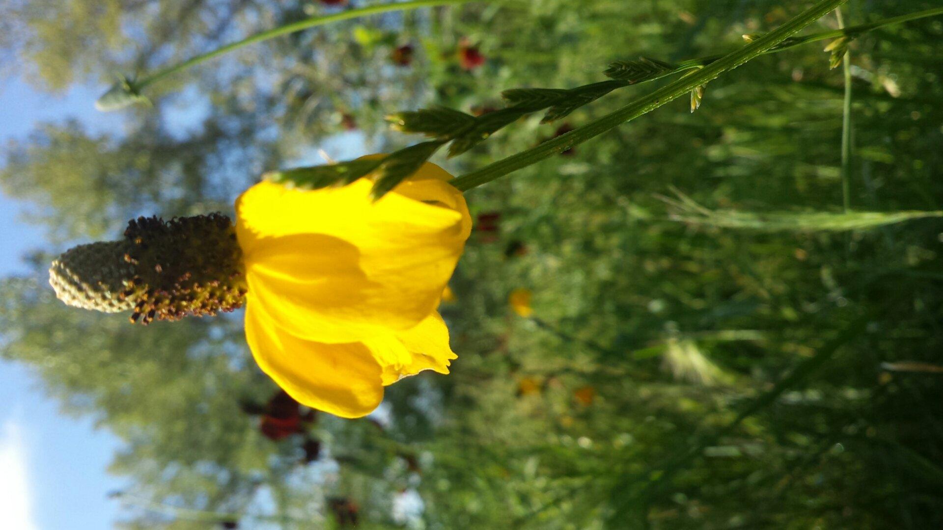 prairie conwflower