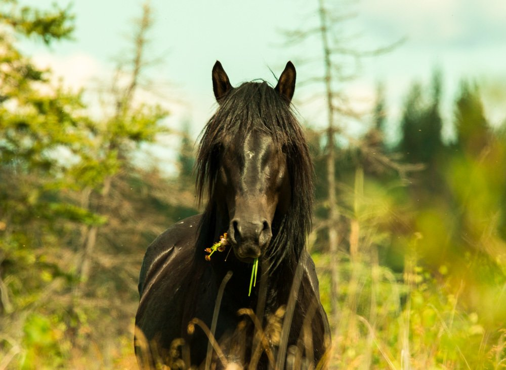 wild feral horses of central alberta