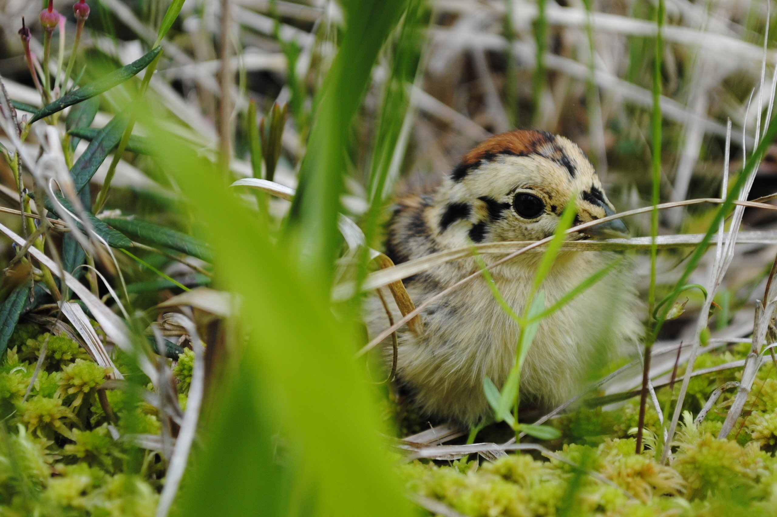 spruce grouse chick