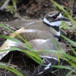 killdeer death
