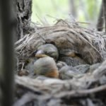 loggerhead shrike chicks