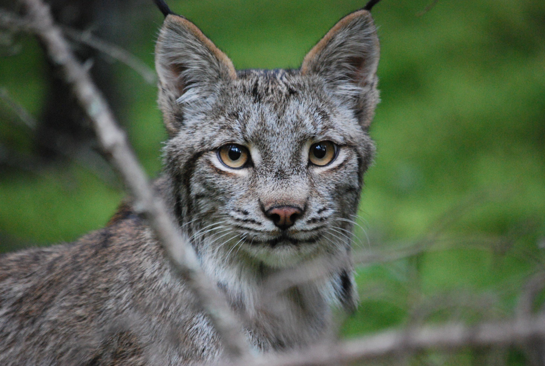 curious lynx