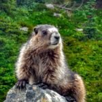 friendly marmot