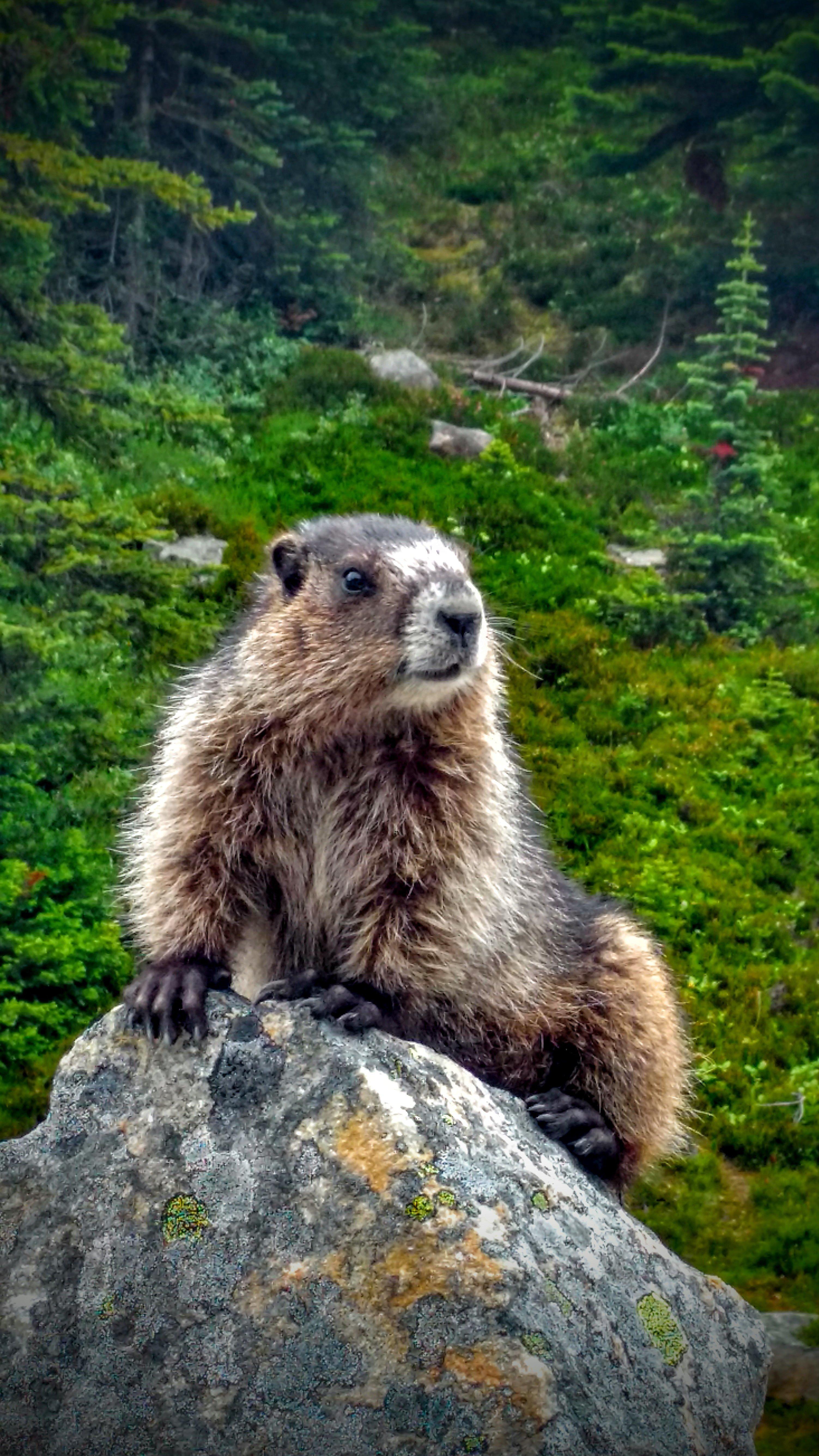 friendly marmot