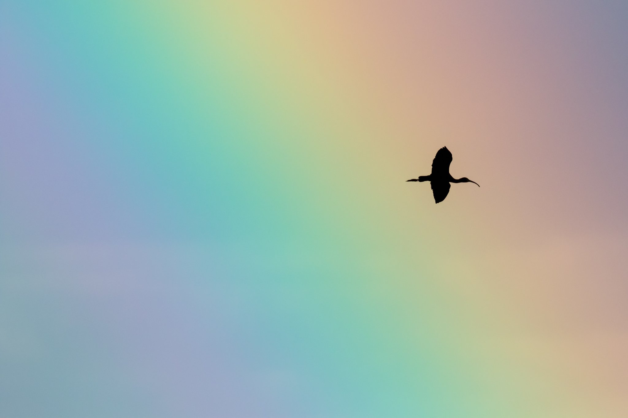 ibises and rainbows