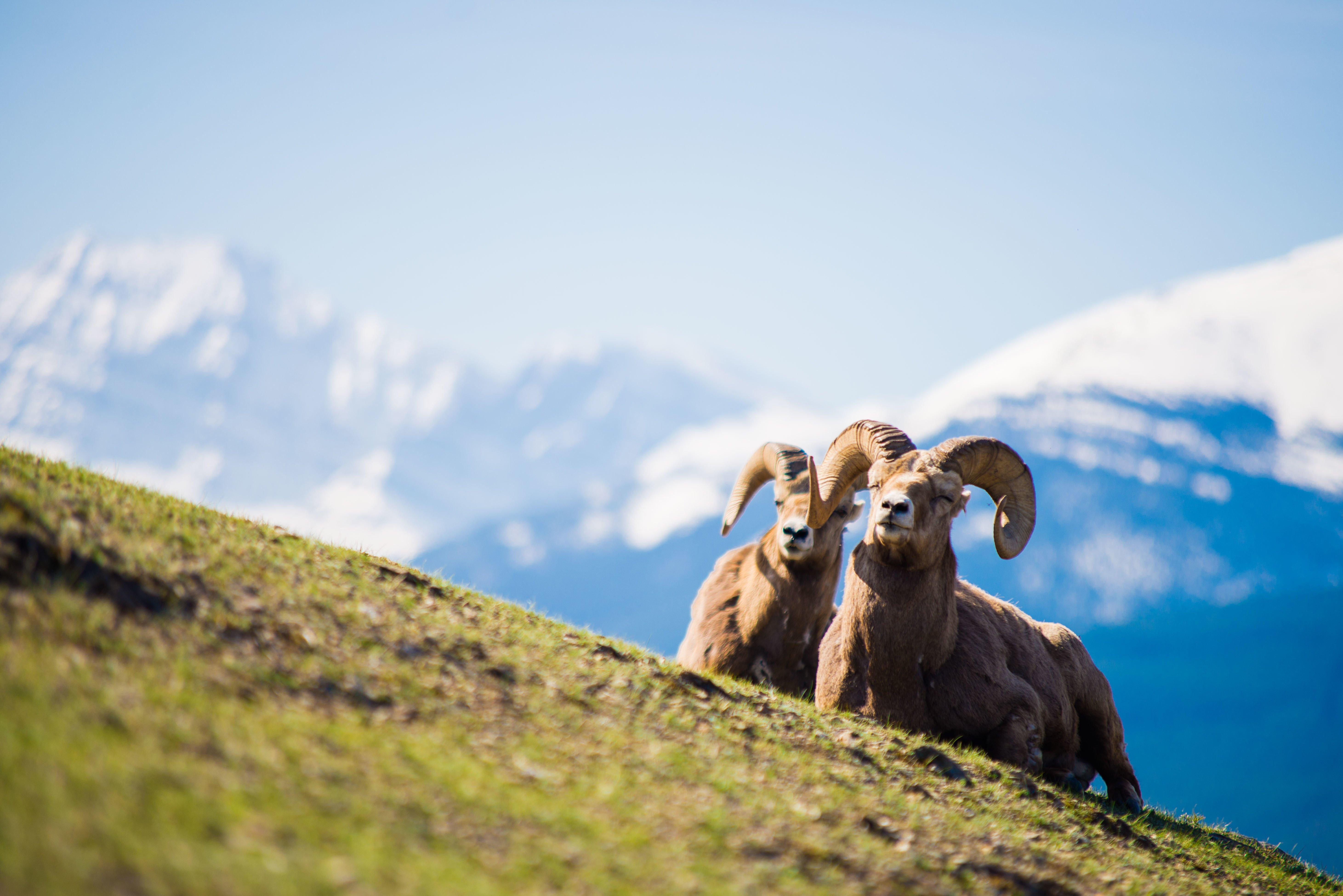 sheep in spring