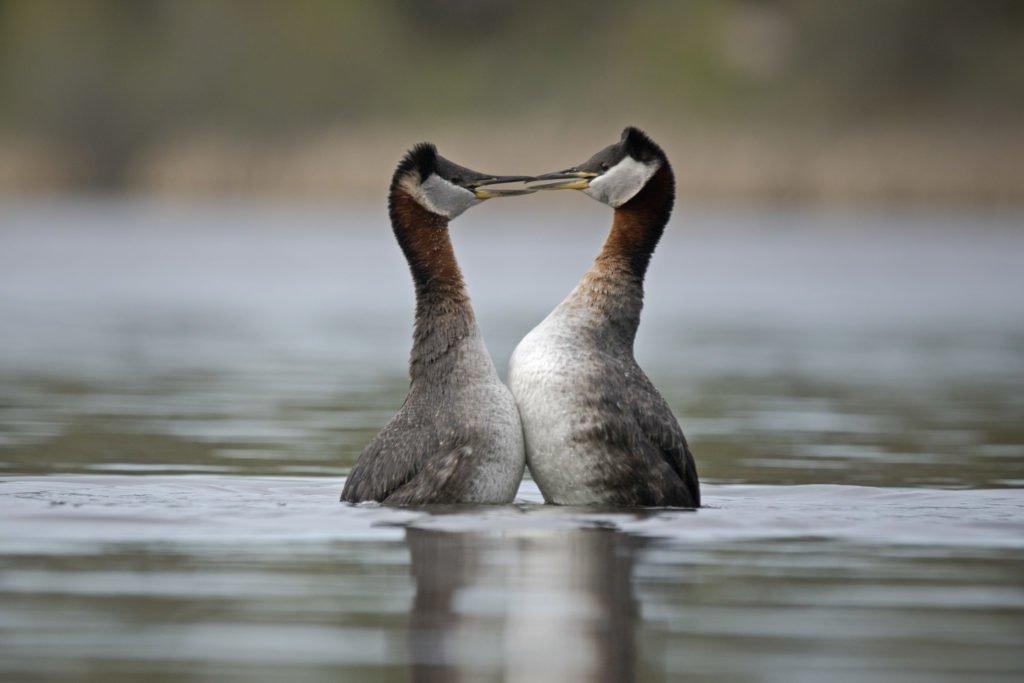 courtship dance