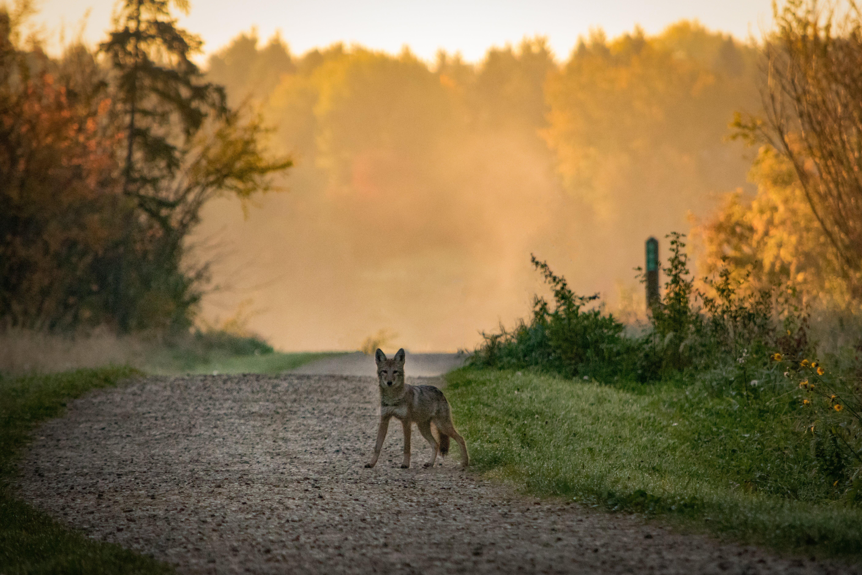 urban coyote pup