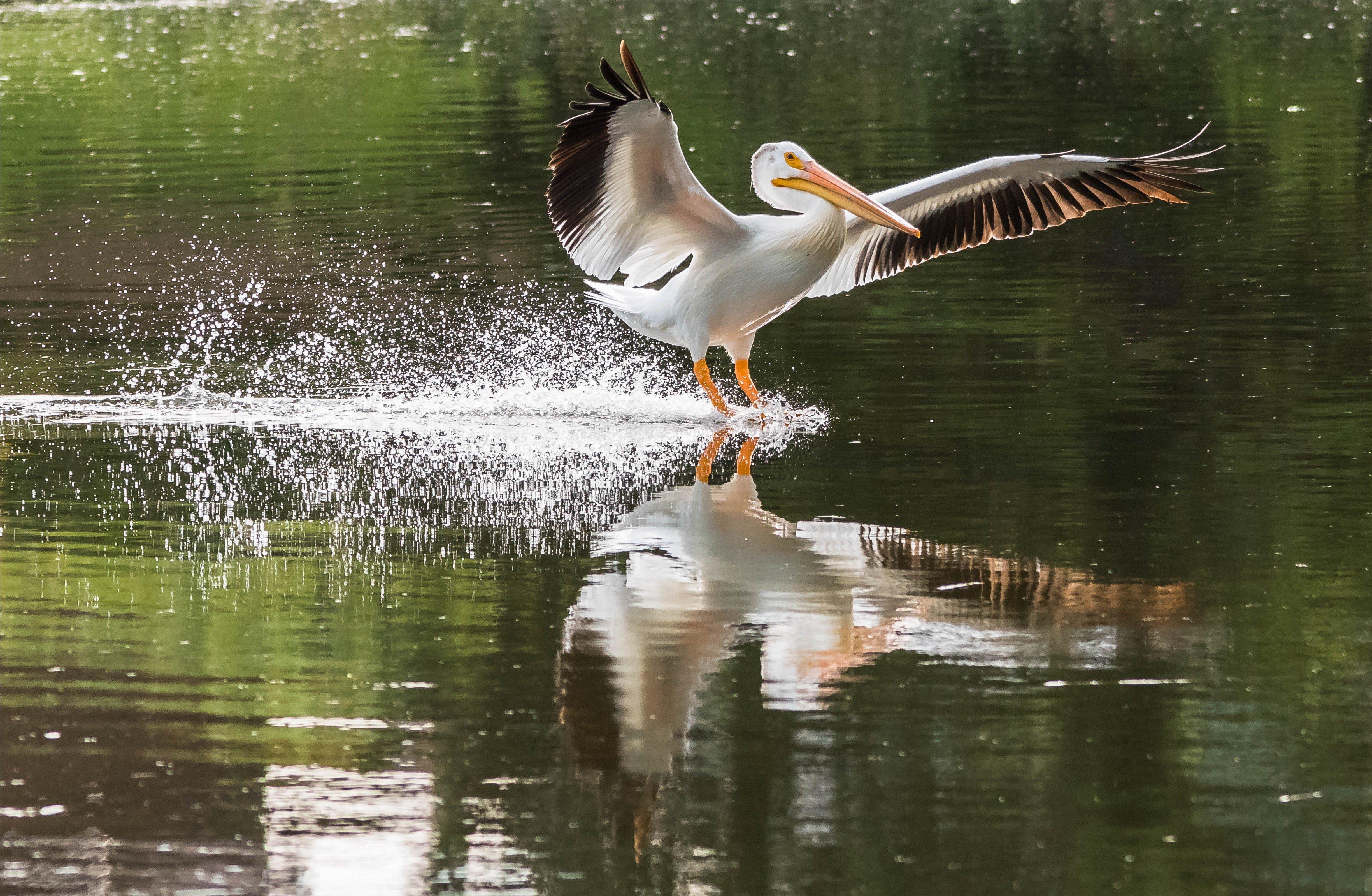 pelican surf