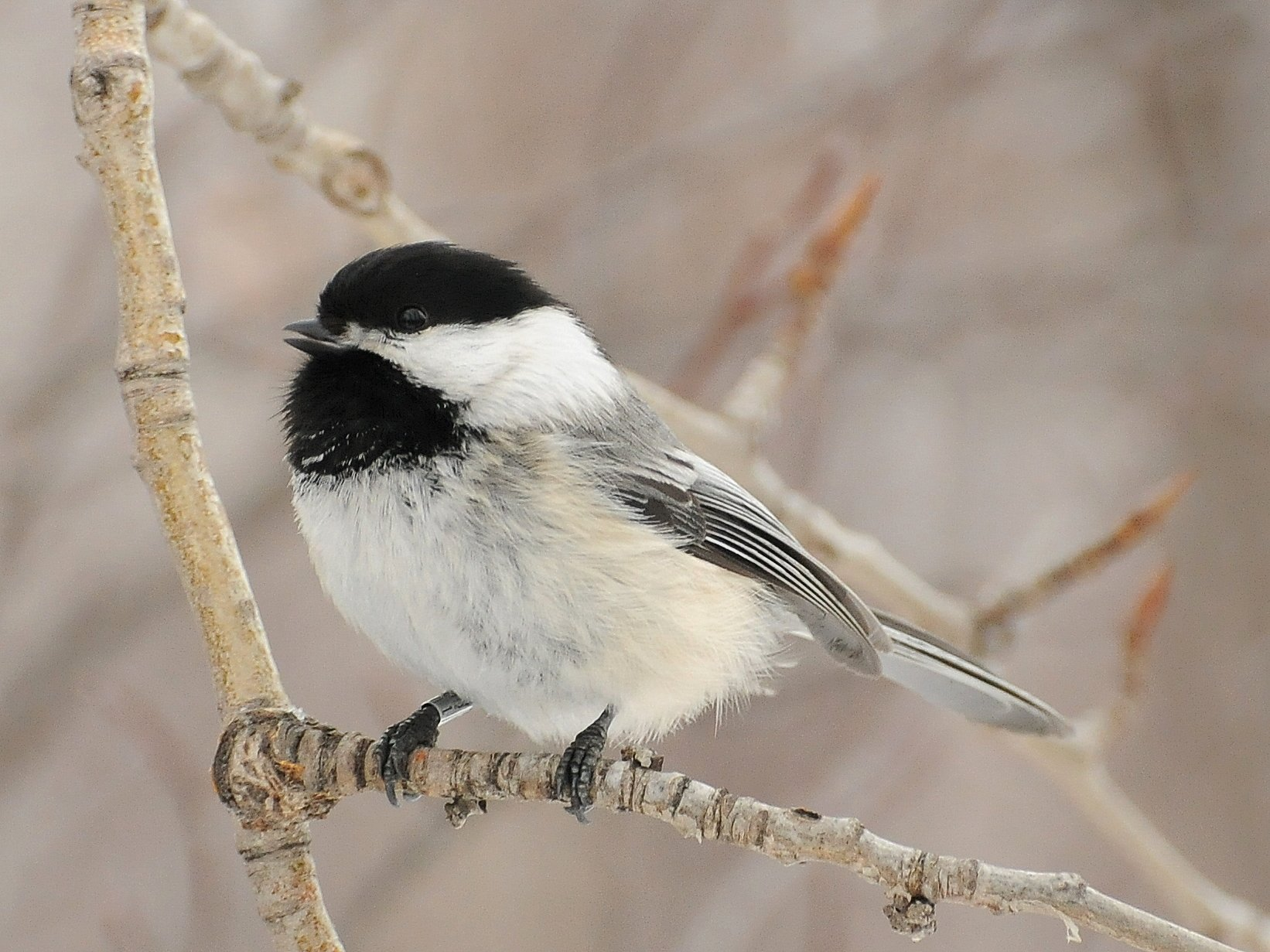 black capped chickadee at inglewood bird sanctuary