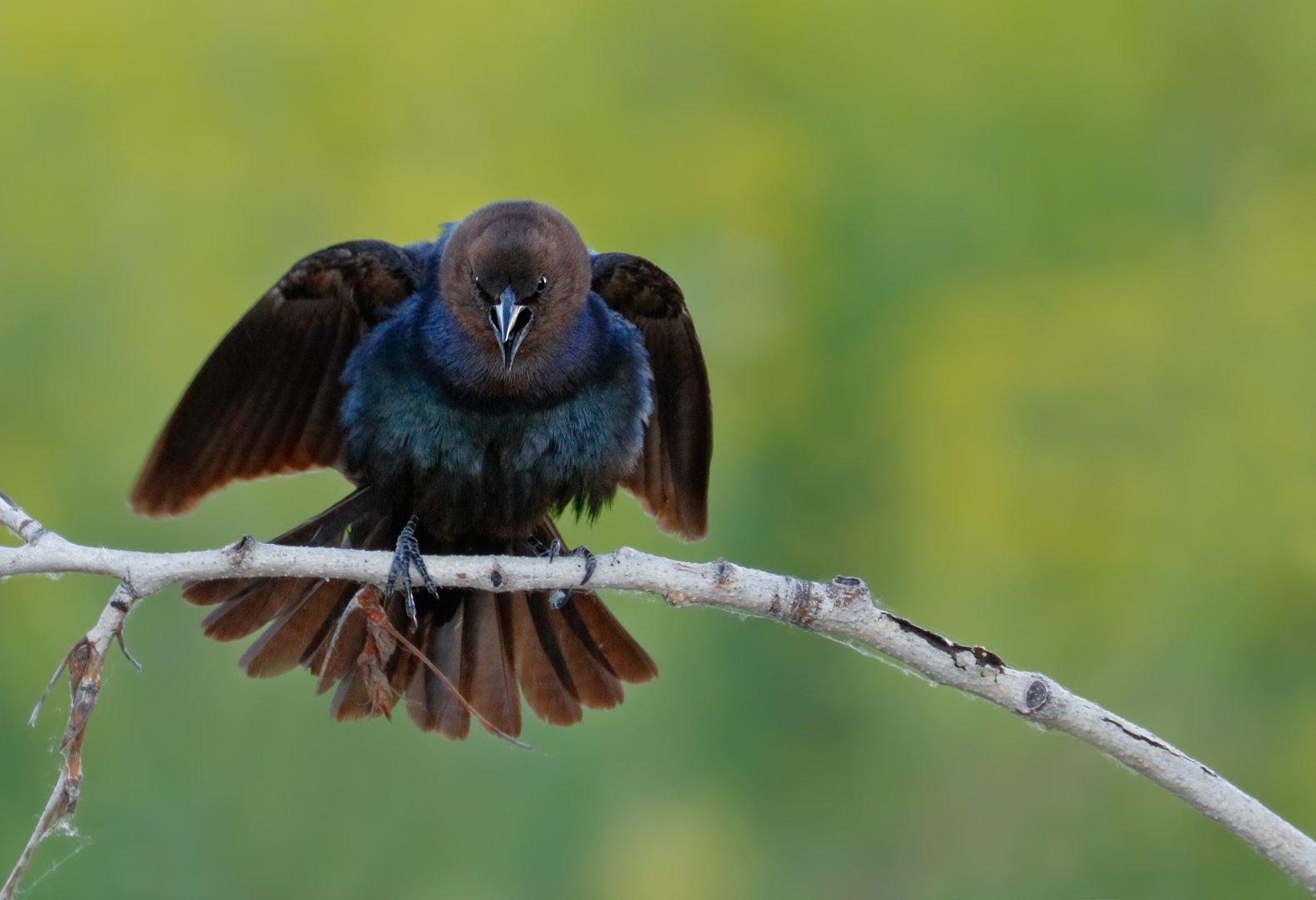 angry black bird