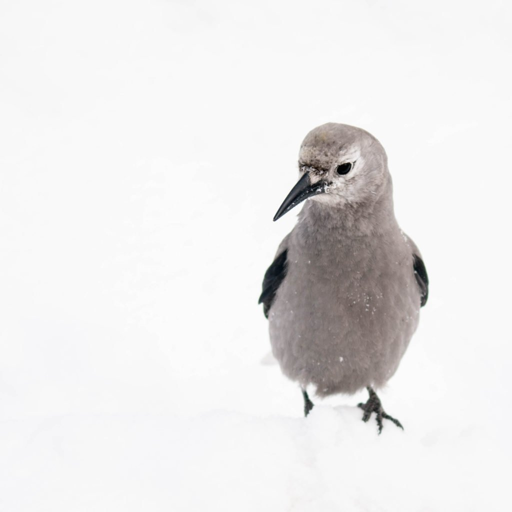 clark s nutcracker in snow