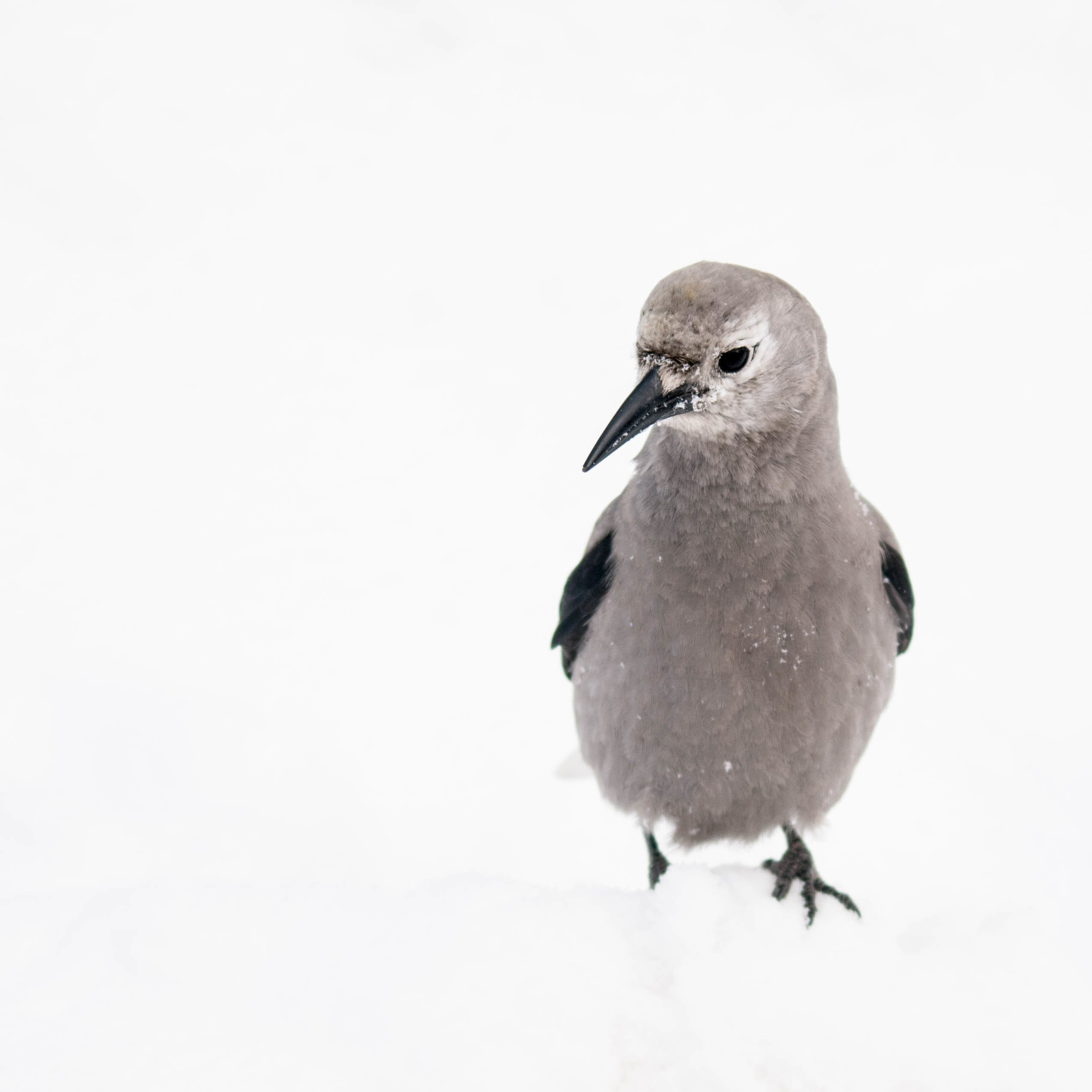 clark s nutcracker in snow