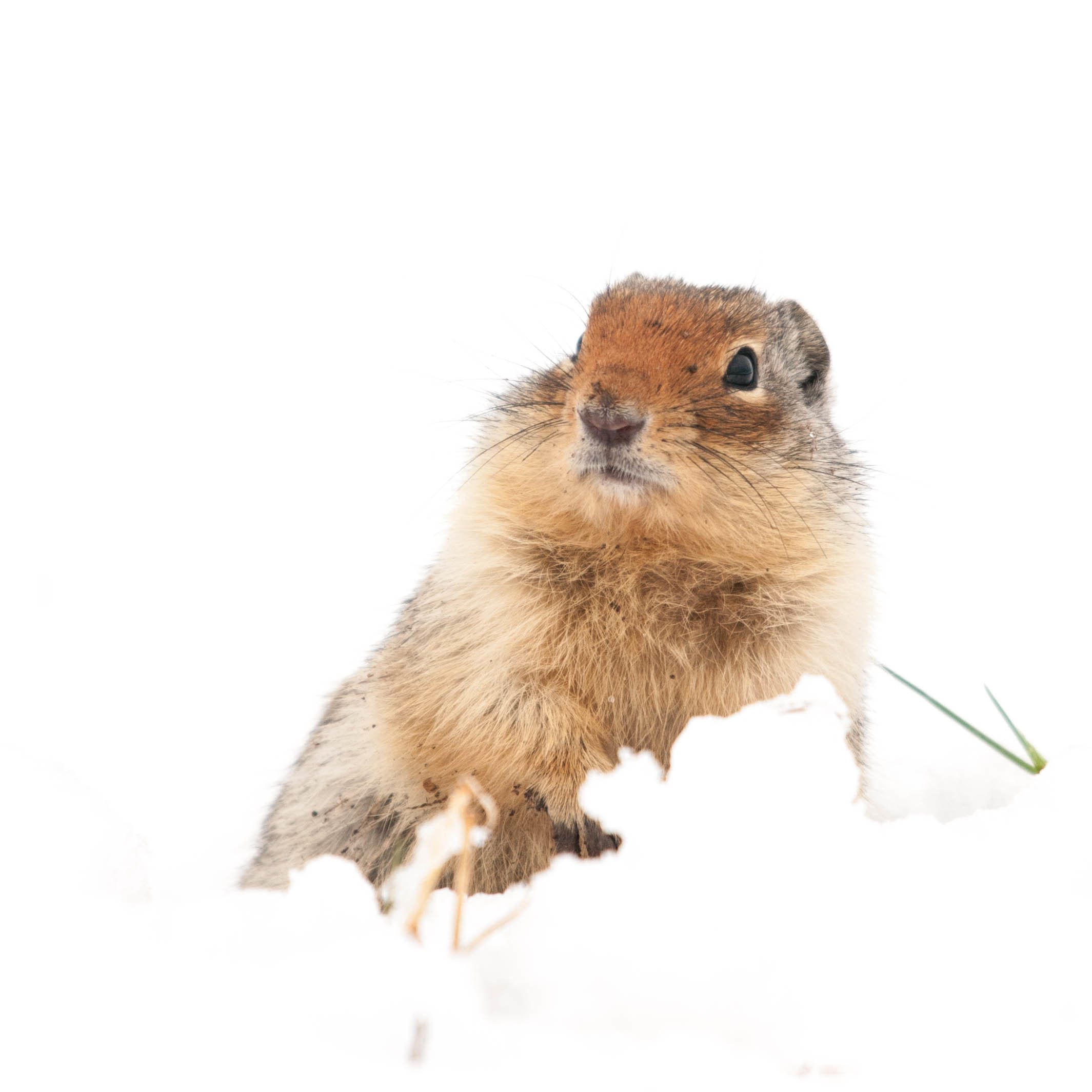 columbian ground squirrel encounters spring