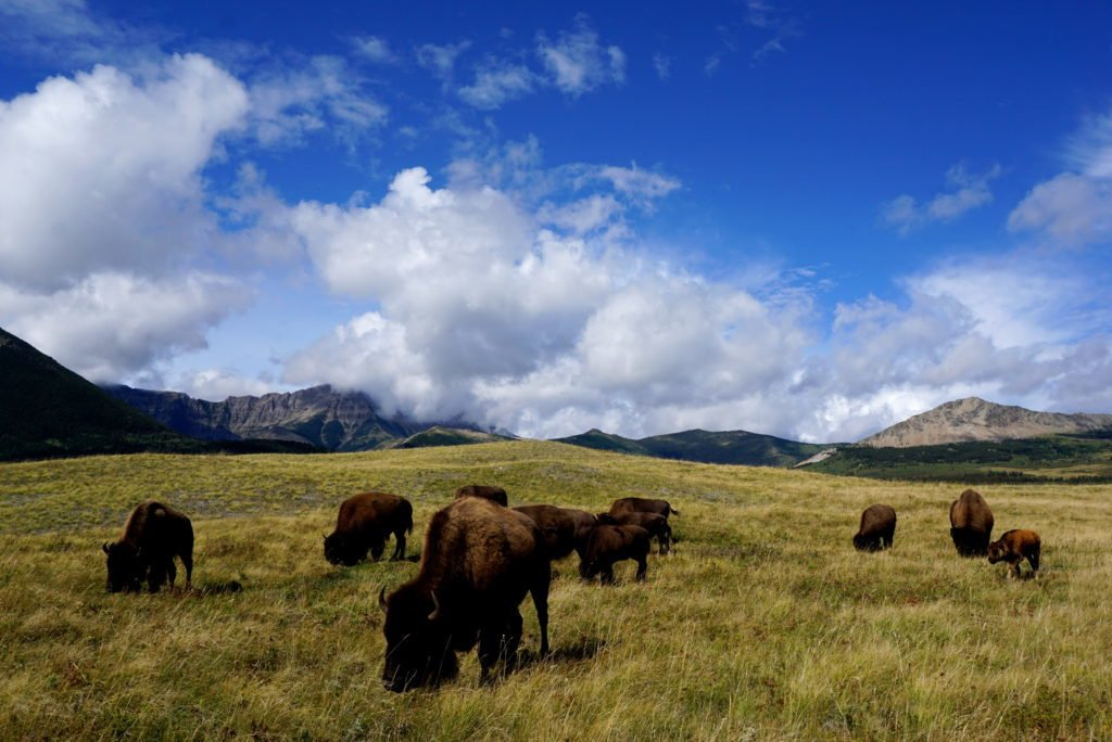 by the bison