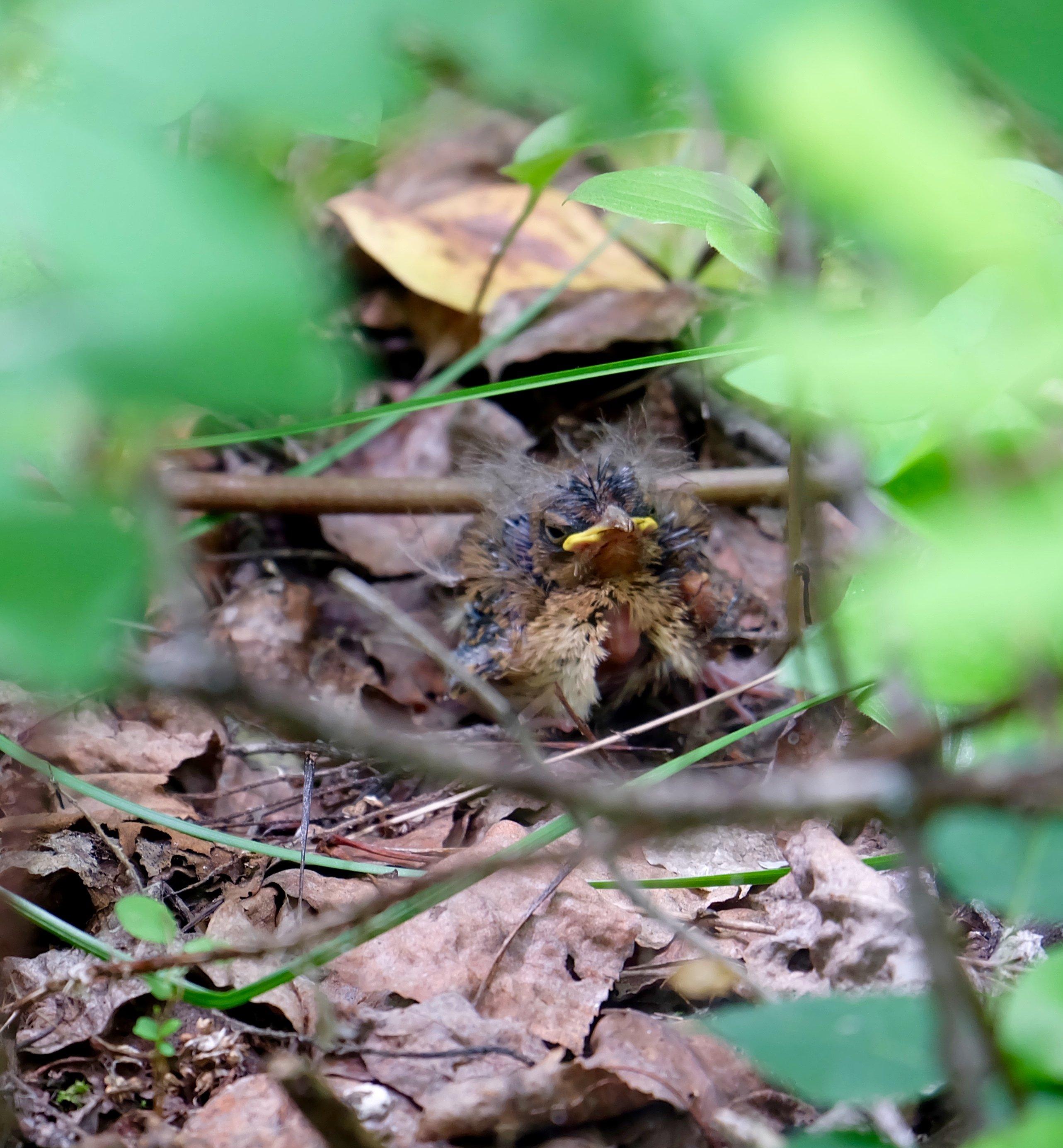 fledging