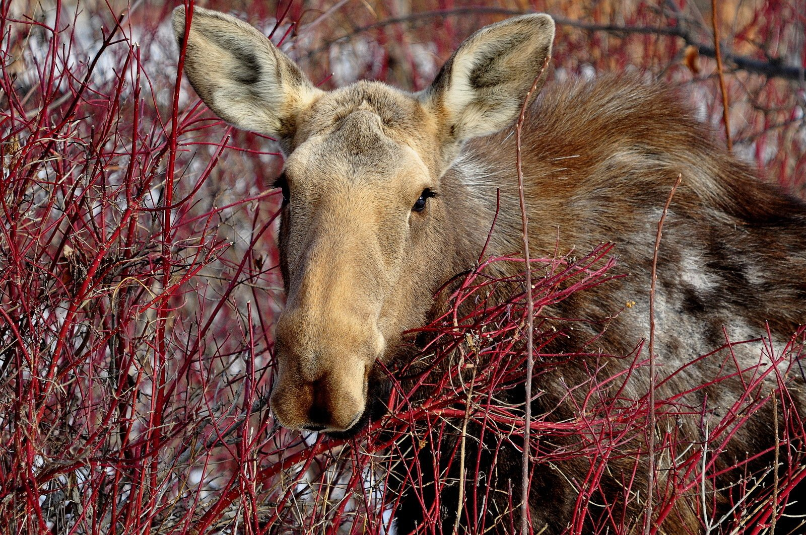 moose in the dogwood