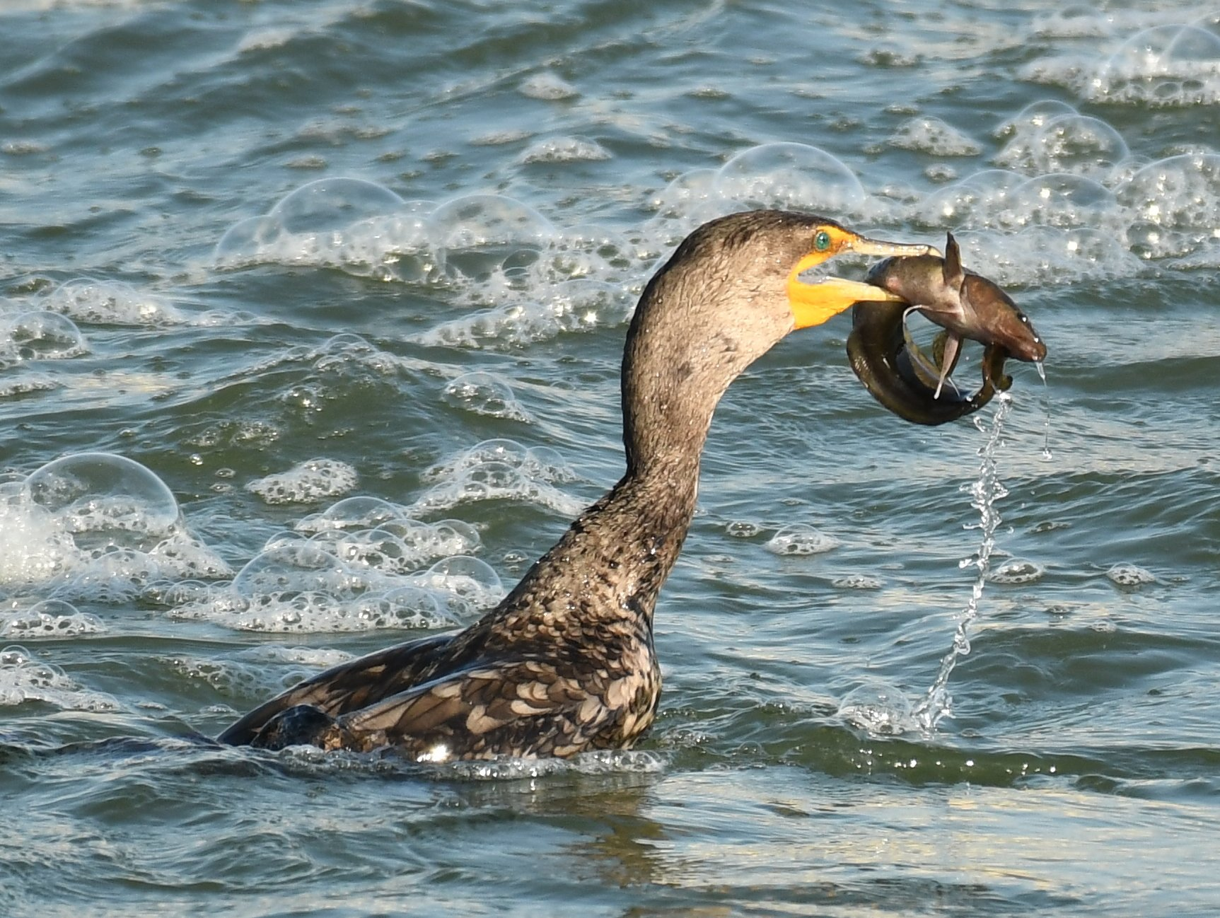 double crested cormorant with burbot at carseland weir