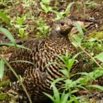 spruce grouse family
