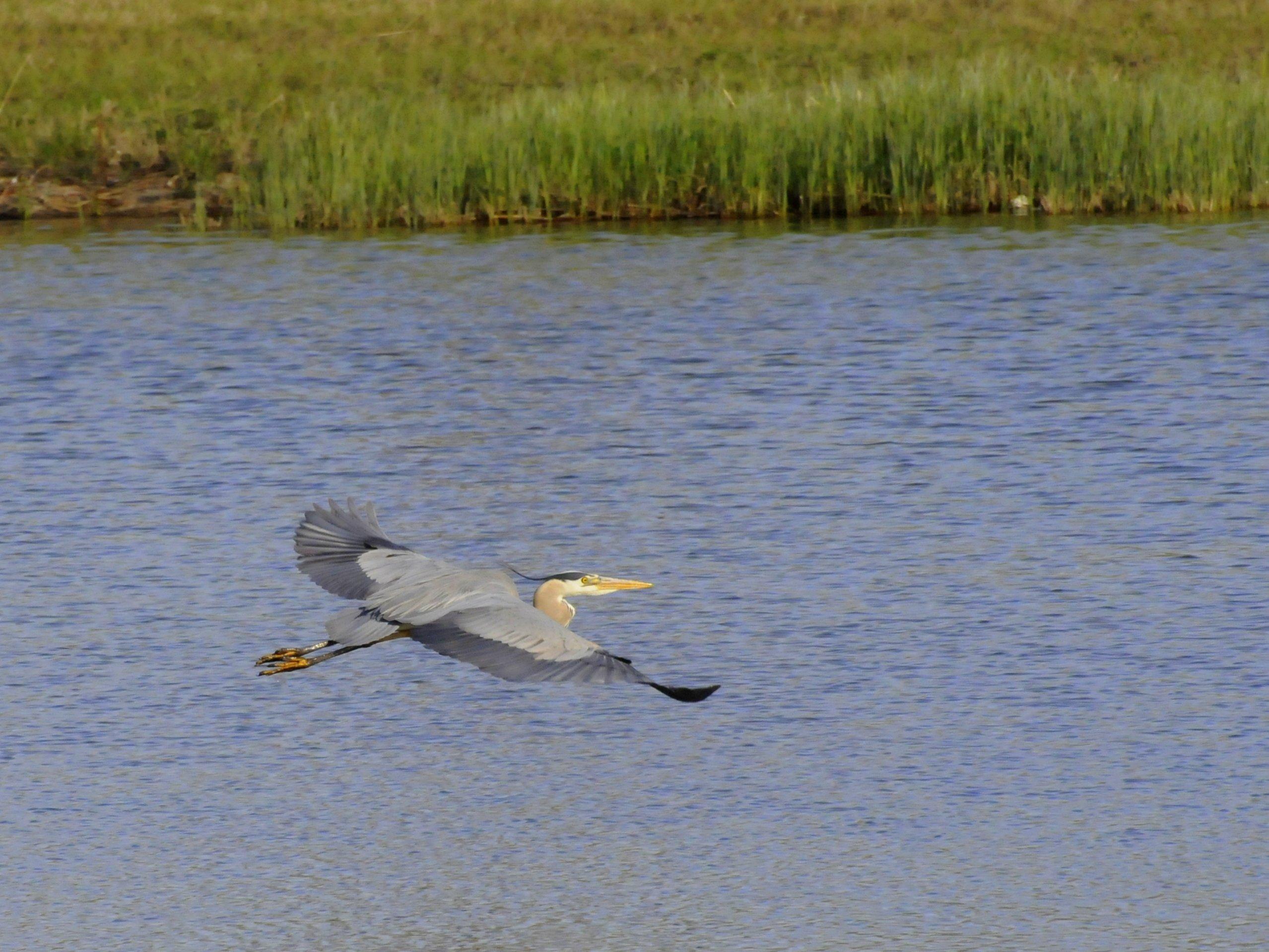 great blue heron at okotoks stormwater ponds