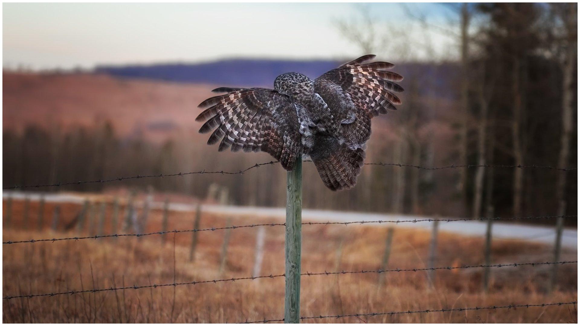 great grey owl wing spread