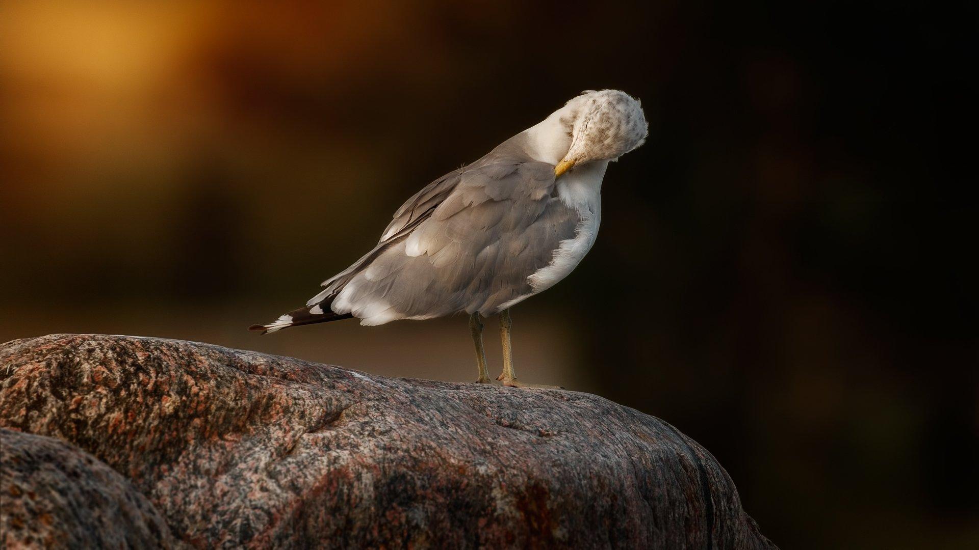 herring gull at sunset