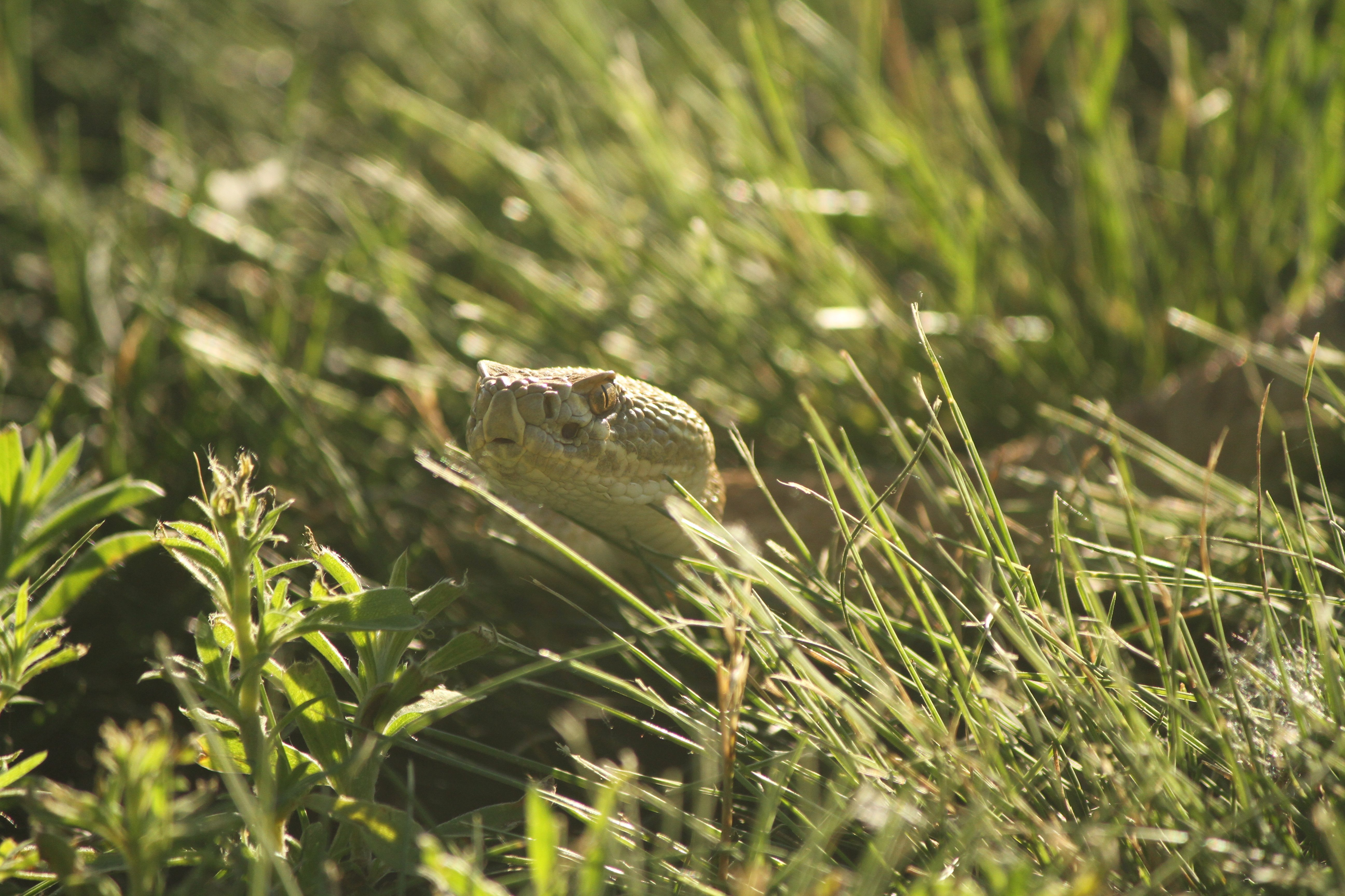 rattles in the grass