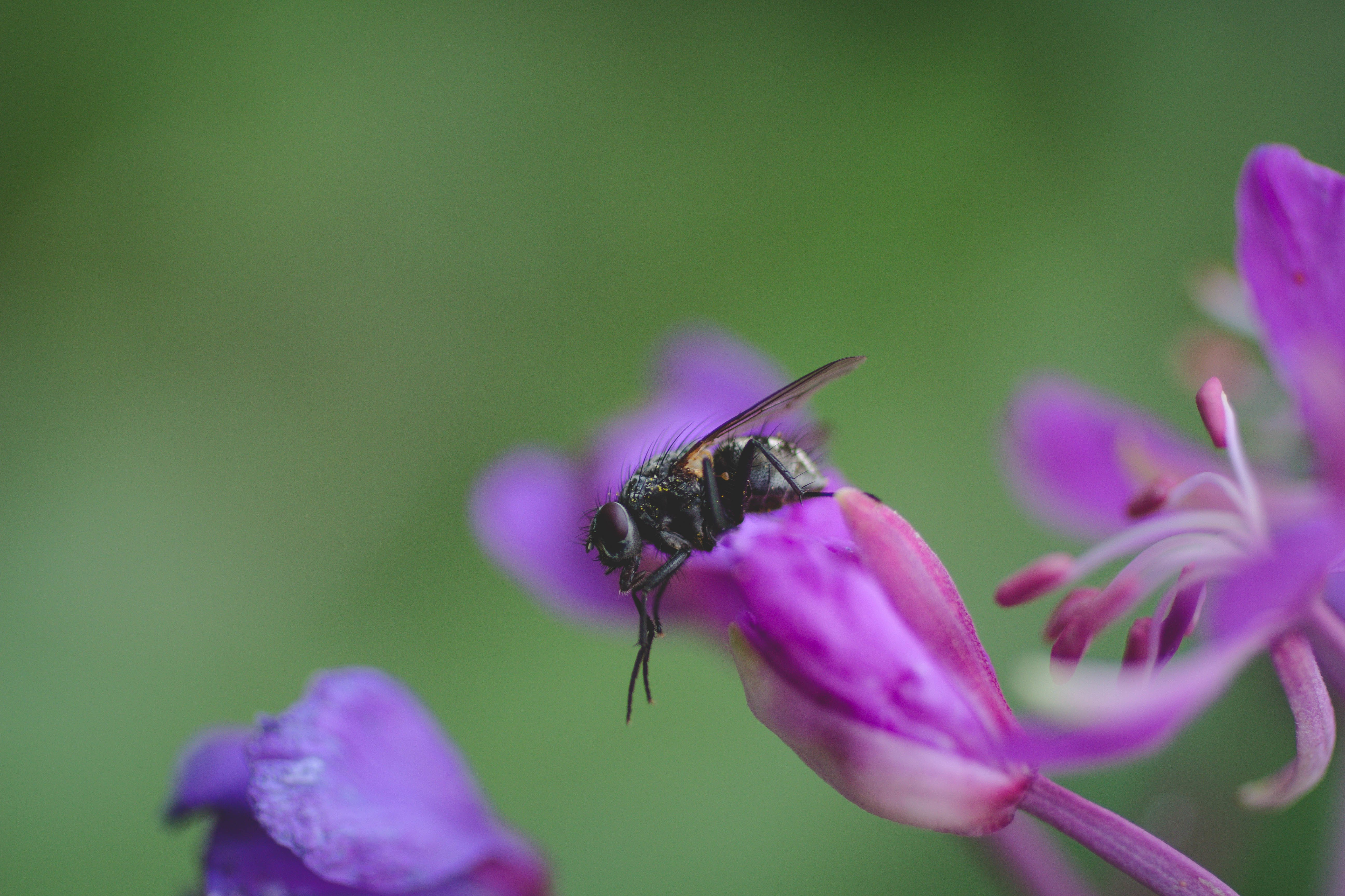the fly the fireweed