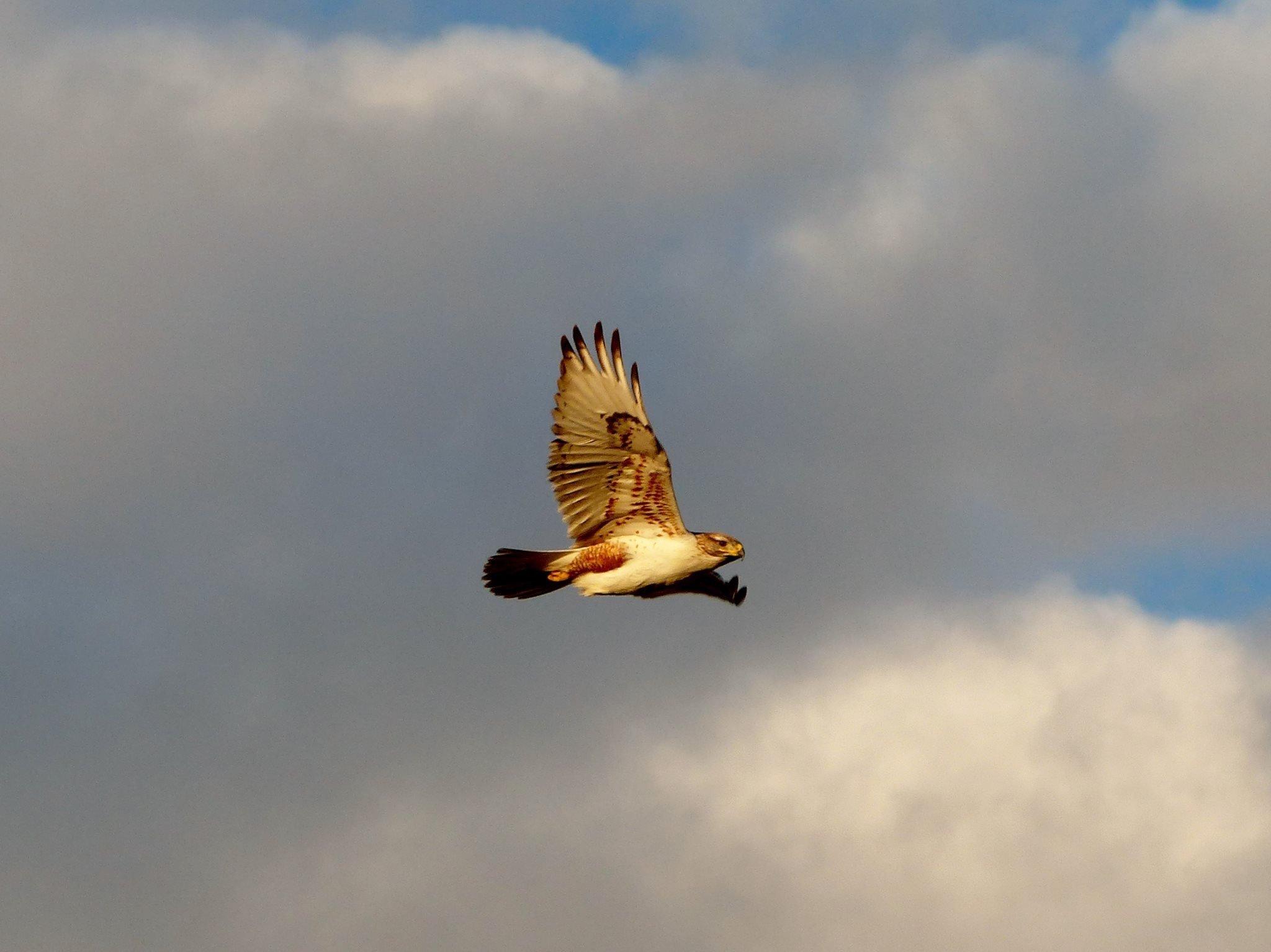 ferruginous flight