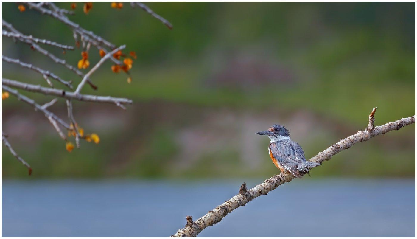 kingfisher on watch