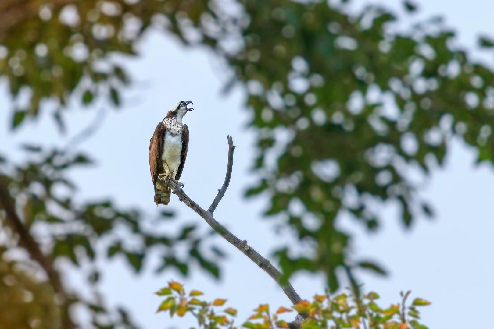 screeching osprey