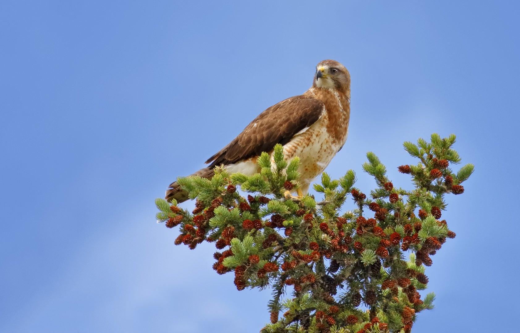perched swainsons hawk