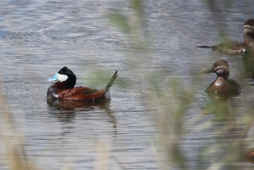 courting ruddy duck