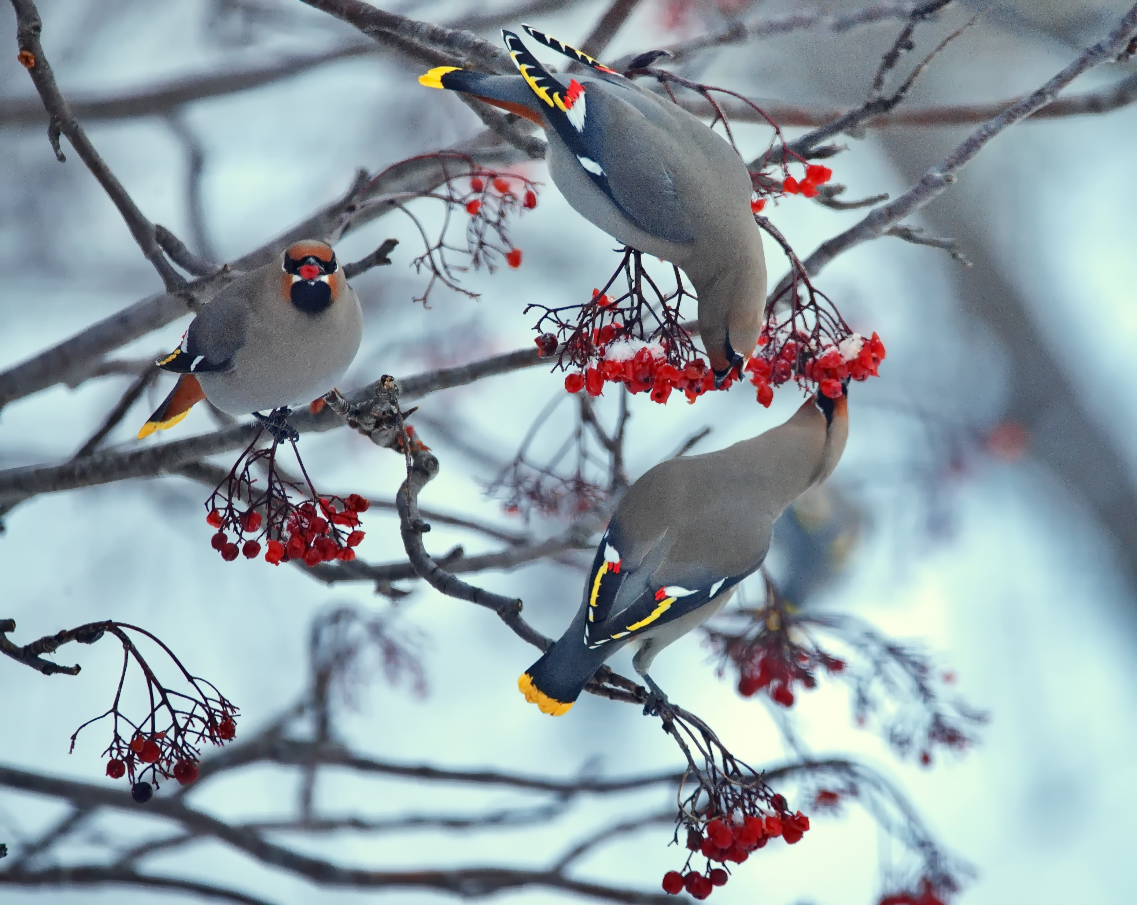 winter waxwings