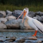 lazy white pelican